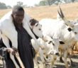 Fulani with cow