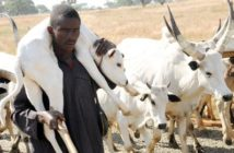 PIC. 11. FULANI'S HERDSMAN  CARRYING A CALF DURING THEIR MIGRATION ALONG   WUNDI/RISHI TORO LOCAL GOVERNMENT AREA OF BAUCHI STATE ON  THURSDAY   (29/12/11).