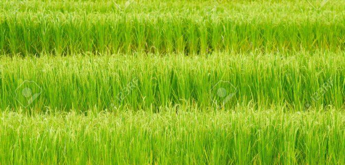 8176343-Green-rice-field-in-Thailand-Stock-Photo-farm