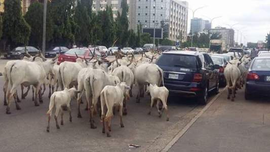 Cow in Abuja