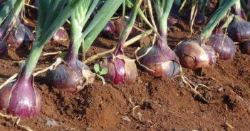 Onion Farm - Crdt - Smart Business