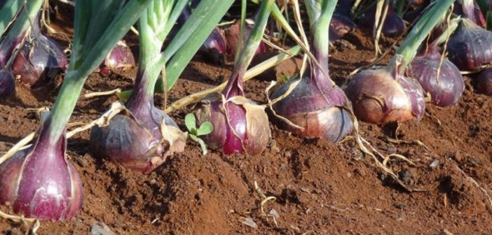 Onion Farm - Crdt - Smart Business
