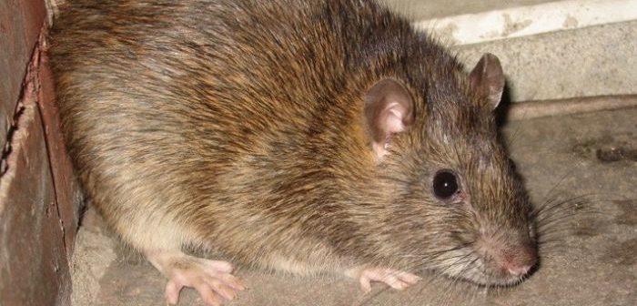 Big Rat Crdt: ABC